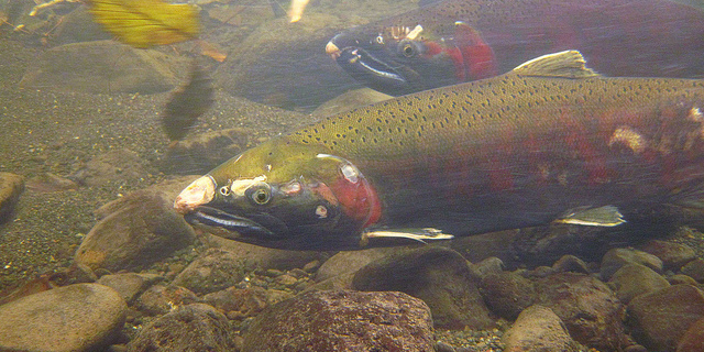 When it comes to fish streams, how warm is too warm?