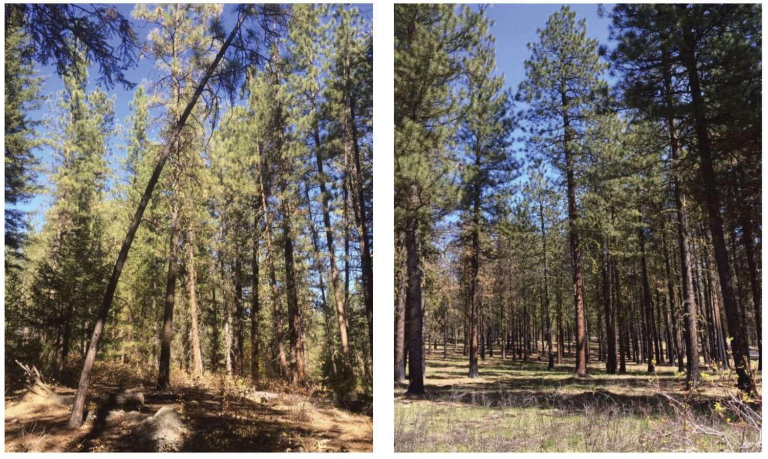 Two photos of forests, side by side. The left has more trees than the right.